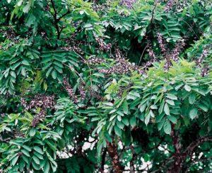 Африканское дерево венге